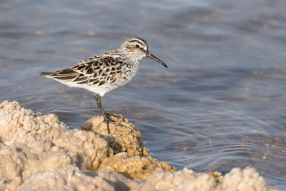 Broad-billed Sandpiper Limicola falcinellus feeding amongst hundreds of insects, Eilat, Israel, May, 2016.