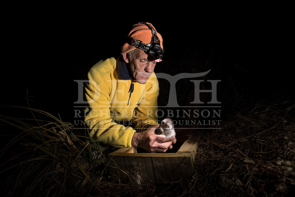 Mike Morrissey Conservation Ranger at Department of Conservation Kaikoura holds a Hutton&rsquo;s shearwater (Puffinus huttoni)  also known as the Kaikōura tītī at a man mad nesting box, near the Shearwater hut in the Kowhai Valley in the Seaward Kaikōura Range in the South Island of New Zealand.<br /> Friday 30 September 2016<br /> Photograph Richard Robinson &copy; 2016