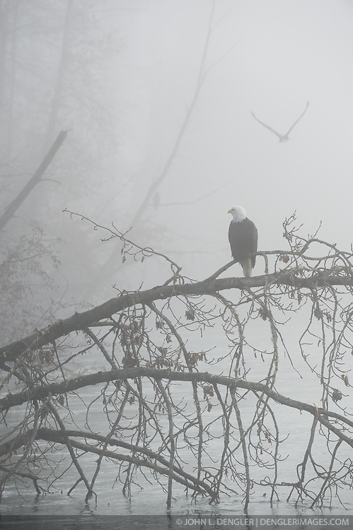Bald eagles (Haliaeetus leucocephalus)  in the early morning fog in the Alaska Chilkat Bald Eagle Preserve along the Chilkat River near Haines, Alaska. During late fall, bald eagles congregate along the Chilkat River to feed on salmon. This gathering of bald eagles in the Alaska Chilkat Bald Eagle Preserve is believed to be one of the largest gatherings of bald eagles in the world.