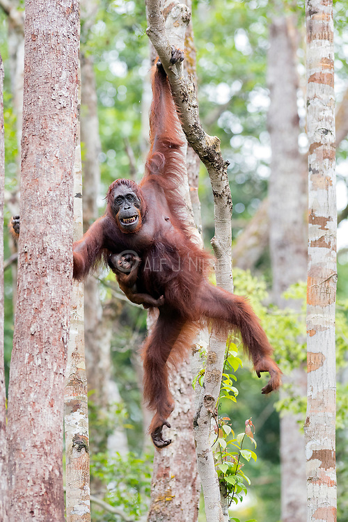 A female Borneo orangutan (Pongo pygmaeus wurmbii) and her new born move elegantly among the trees in the rainforest of Tanjung Puting National Park, Kalimantan, Indonesia