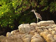 Garceta Ave Marina,esta especie frecuenta las costas y zonas húmedas, pues es amiga de las aguas dulces. ©Alejandro Balaguer/ Fundación Albatros Media