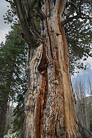 Gnarled old Whitebark Pine (Pinus albicaulis)