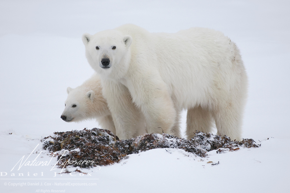 Polar Bear mother and cub in the kelp along the shores of Hudson Bay, Manitoba.