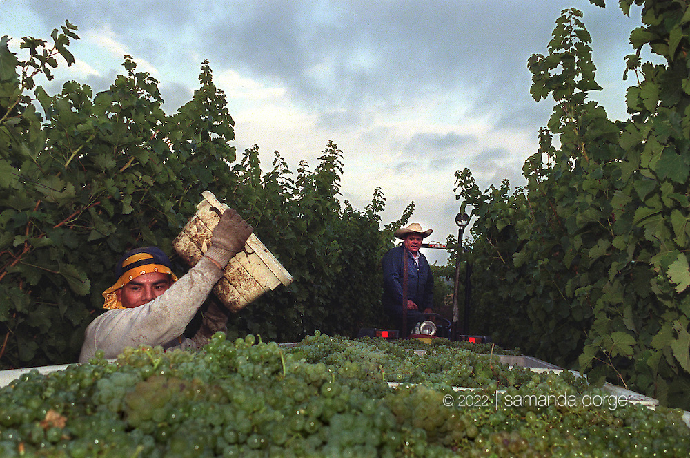 Workers harvest grapes in the Rutherford region of Napa, California.