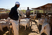 30 OCTOBER 2010 - PHOENIX, AZ: IBRAHIM SWARA-DAHAB (right background) helps a customer who is a Bhutanese refugee select a goat at the Goat Meat Store, owned by Ibrahim Swara-Dahab, in Phoenix, AZ. Swara-Dahab came to the United States from Somalia in 1998. He has built a thriving business as a Halal butcher and provides freshly butchered goats and sheep killed following the precepts of Muslim tradition. His business not only caters to Muslims in the Phoenix area but also to refugees and immigrants from Africa and Asia. His small butcher shop is on the Gila River Indian Reservation, about 100 yards from the Phoenix city limits and doesn't have either running water or electricity.    Photo by Jack Kurtz