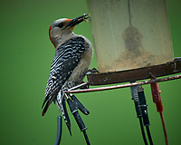 Female Red-bellied Woodpecker. Image taken with a Nikon D5 camera and 600 mm f/4 VR lens (ISO 1600, 600 mm, f/5.6, 1/500 sec)