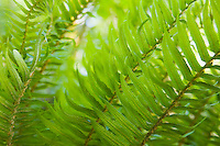Closeup of ferns Western Washington USA.