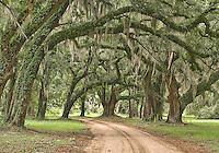 Hampton Plantation Avenue of the Oaks. Santee Wildlife Management Area.
