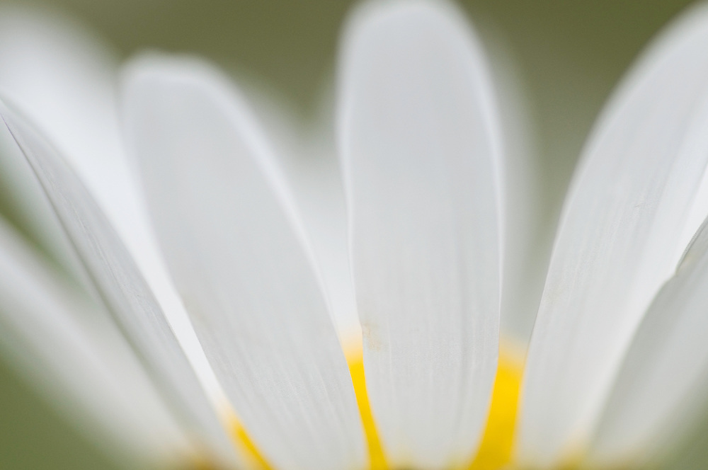 Mountain daisy, Leucanthemum adustum, Ruggellerriet, Liechtenstein