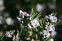 Detail of Rosemary plant in flower