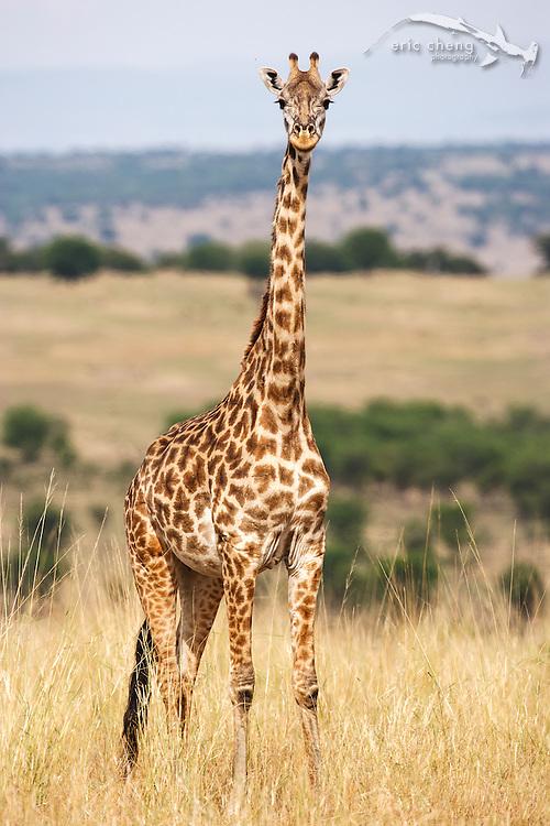 Maasai giraffe (Giraffa camelopardalis tippelskirchi), Serengeti, Tanzania