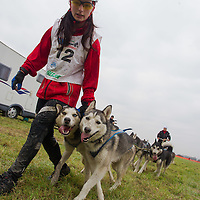 Participant leads her dogs during the FISTC Dog Cart European Championships in Venek (about 136 km Norht-West of capital city Budapest), Hungary on November 22, 2014. ATTILA VOLGYI