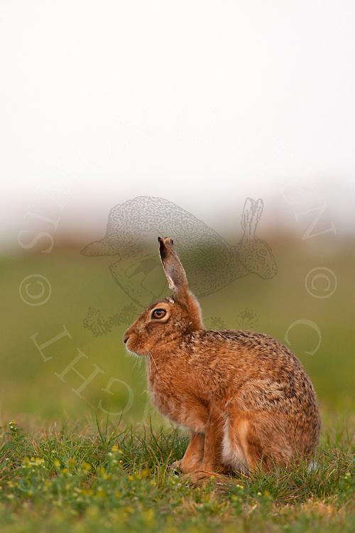 European Hare (Lepus europaeus) adult, sitting on grass track, Norfolk, England