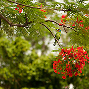 A Muller's Barbet (Megalaima Oorti) rests on a Flame Tree (Delonix Regia) branch in Tainan City, Taiwan