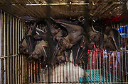 Fruit Bat in Animal market<br /> Jatinegara Animal market<br /> Jakarta<br /> Indonesia