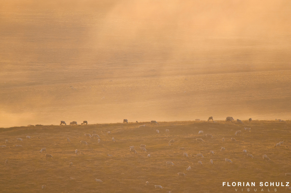 Caribou migration in the Western Arctic in the Utukok River area, Alaska