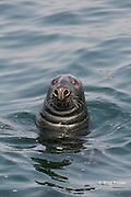 gray seal or grey seal, Halichoerus grypus, off Long Island, Digby Neck, Bay of Fundy, Nova Scotia, Canada ( North Atlantic Ocean )