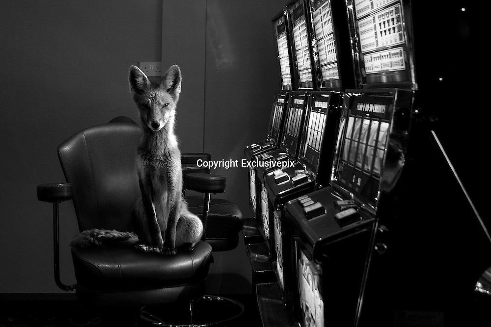 "Photographer catches wild animals in Urban spaces <br /> <br /> Photographer Jason McGroarty who captured these wild animals in urban spaces said  ""I will always remember the moment that I came into contact with a wild fox whilst walking a dimly lit street on the outskirts of my hometown. Through project Totem I want to capture that heart-stopping moment when the wild breaches the barriers of the big city and boldly reminds us that we are not as sage as we would like to think, that the unexpected should be expected'<br /> <br /> jason love of wild animals grew his photographer project in capturing these animals outside there normal enviroment <br /> <br /> ""I didn't have to manipulate the animals at all, I wanted them to be seen as they would be in the context of each image and so the hard part came when I had to manipulate the surroundings to suit the unique symbolism's of each animal. Some of the animals featured in Project Totem are looking at you, placing the viewer in the image and others take a more candid approach with the animals acting as they would in their natural surroundings""<br /> <br /> Almost all of the images seen are shot in my hometown, Letterkenny, Donegal, Ireland.<br /> ©Jason McGroarty/Exclusivepix"