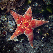 Starfish, Klemtu, British Columbia