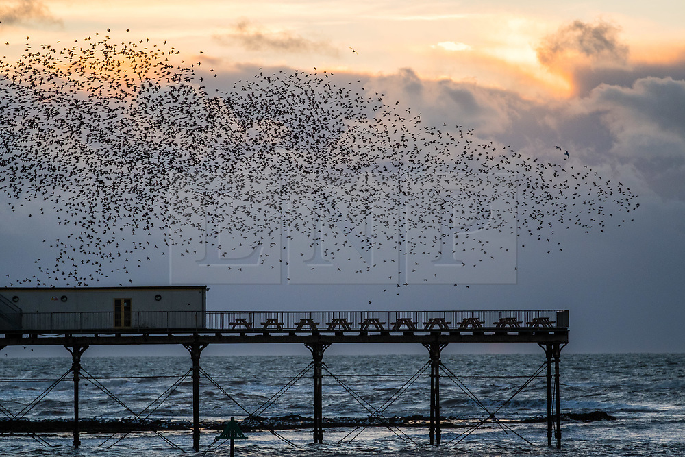 © Licensed to London News Pictures. 12/11/2017. Aberystwyth, Wales, UK.  At sundown on a bright and bitterly cold November evening in Aberystwyth,  thousands of starlings swoop in fantastic 'murmurations' in the sky above the rooftops, before descending to roost for the night on the legs underneath the town's Victorian era seaside pier. Photo credit: Keith Morris/LNP