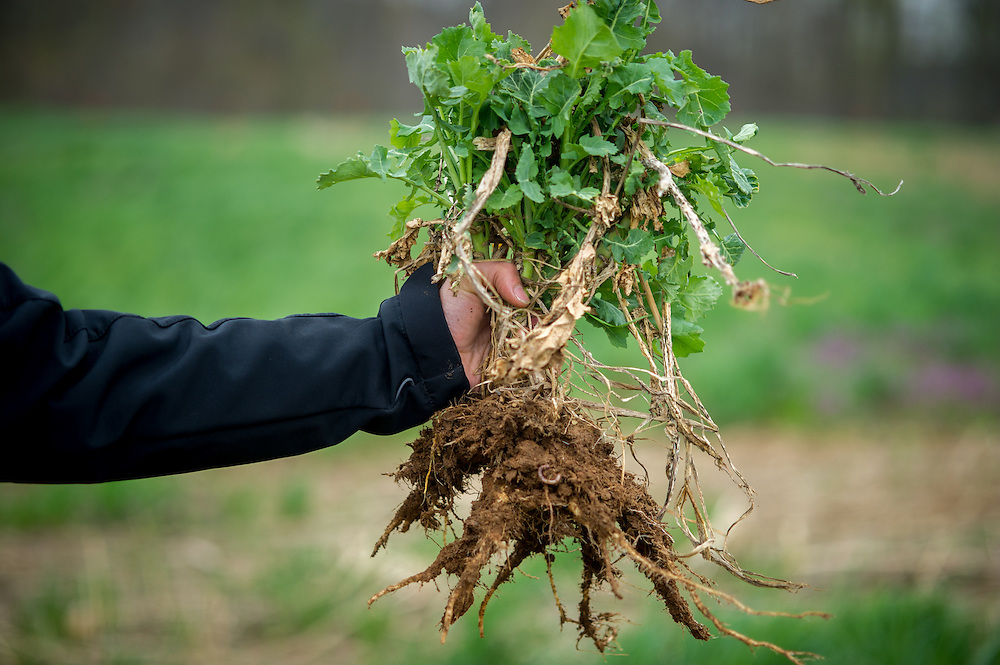 Radishes (brassica) on plot with deep roots used for biotillage.