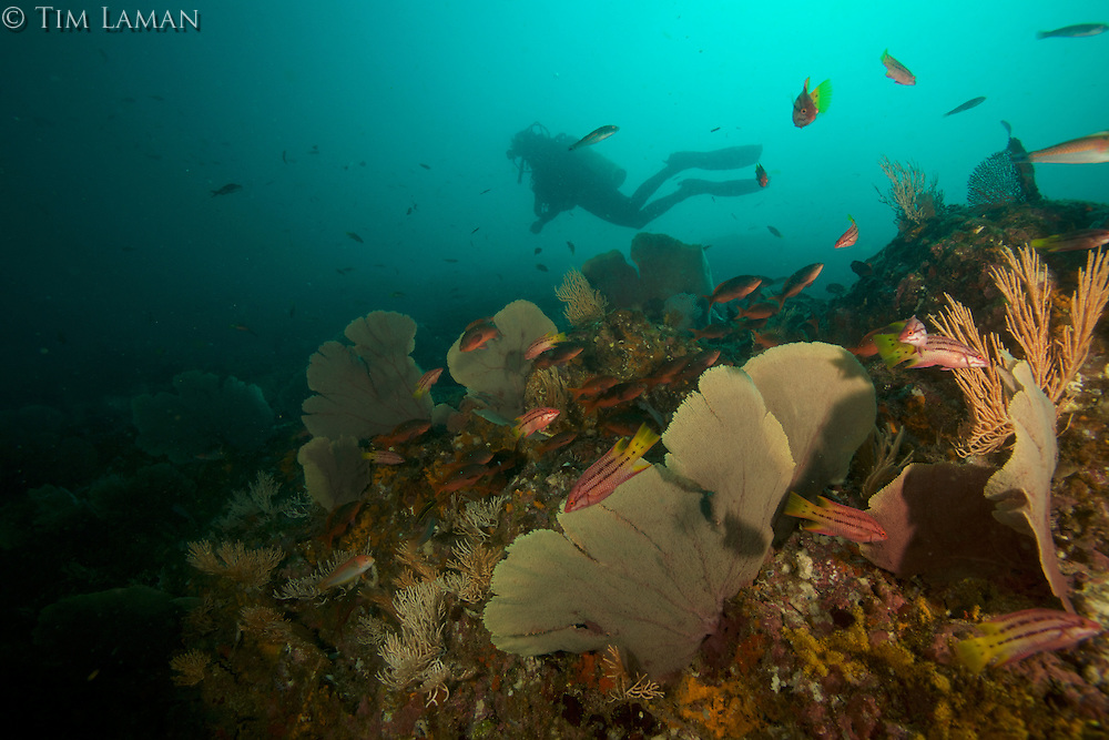 Lars Abromeit diving on a Coiba seamount covered with sea fans and soft corals and with<br />