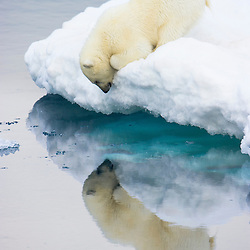 2011 WILDLIFE WINNER - WINDLAND SMITH RICE INTERNATIONAL AWARDS (Natures Best Photography)<br /> <br /> A polar bear cub inspects its own reflection at the edge of an ice floe. Barents Sea, Norway.