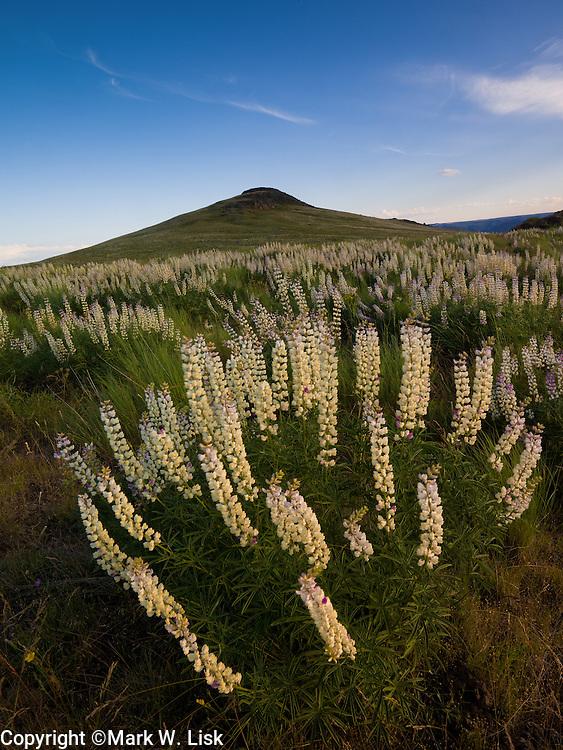 Lupine bloom in the rolling hill near 3 fingers gulch, Owyhee Desert.