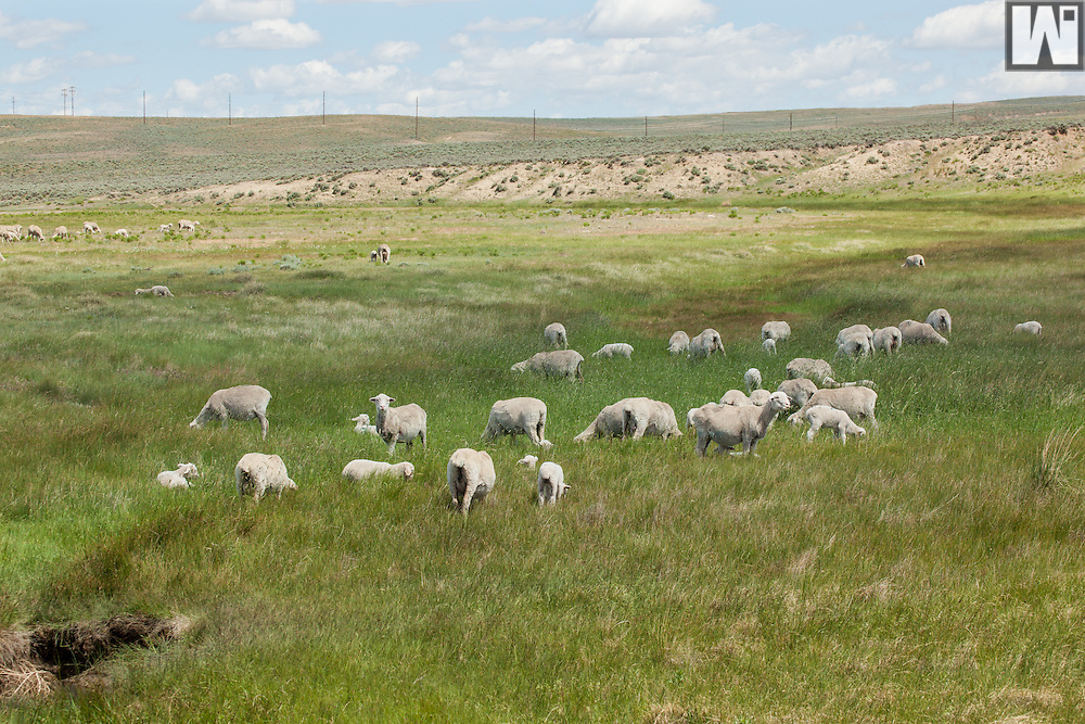 Smith Sheep Ranch, Douglas, WY