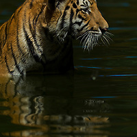 A 9 months old Malayan tiger (Panthera tigris jacksoni) cools off his body inside a pool at a zoo in Kuala Lumpur, Malaysia.In the last century, 3-sub-species have become extinct, the Balinese, Caspian and Javan Tiger. The Malaysan Tiger is one of six remaining sub-species. There are only an estimated 500 wild tigers remaining in Peninsular Malaysia.