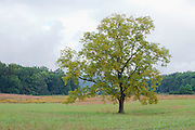 Cades Cove tree in open field.<br /> Great Smokey Mountains Tennessee.
