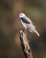 A white-tailed kite perches on a tree stump, surveying the landscape around it