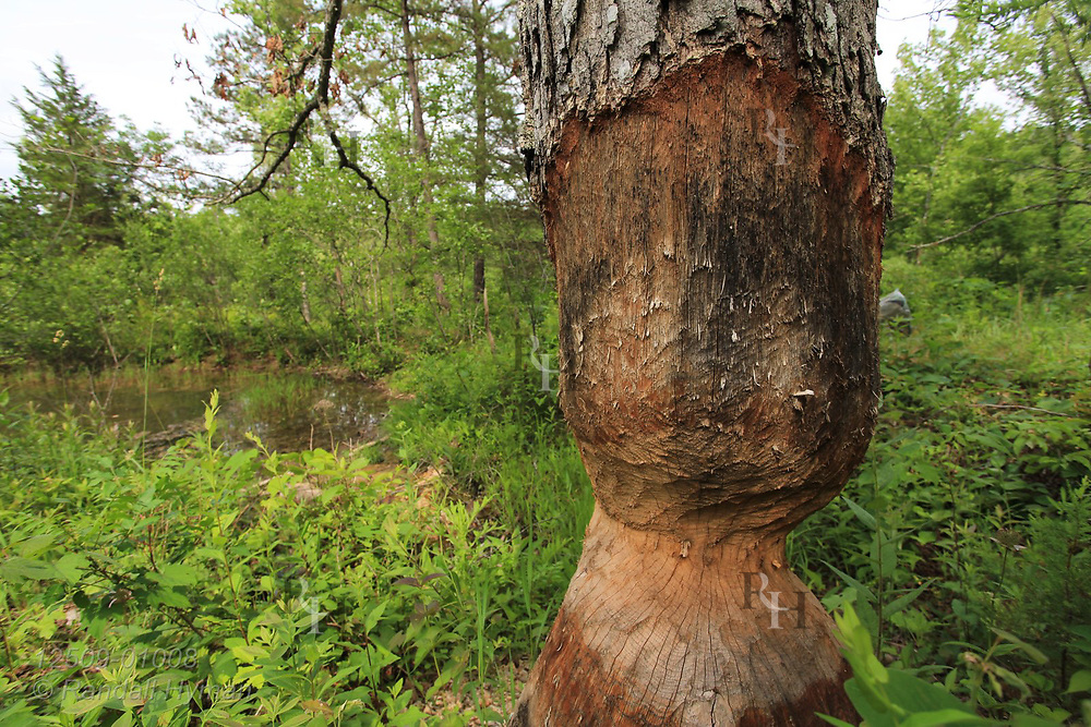 Beaver-gnawed tree at Grasshopper Hollow, the largest, most significant fen complex in unglaciated North America; Reynolds, Missouri.