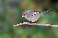 Bushtit - Psaltriparus minimus - Adult female