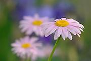 Coreopsis flower<br /> Winnipeg<br /> Manitoba<br /> Canada
