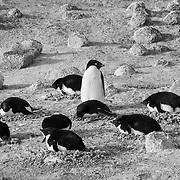 Nesting Adelie Penguins