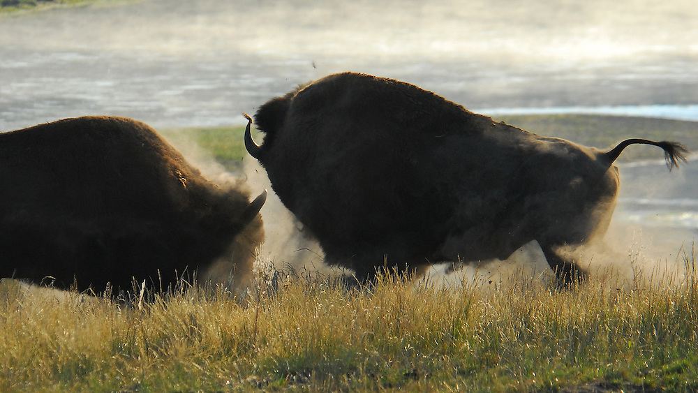 As the summer sun rises, two mature bull bison battle for supremacy in the Yellowstone's Hayden Valley.