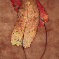 One yellow leaf turning brown and one red leaf of Broad-leaved dock or Rumex obtusifolius lying on brown antique paper
