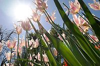 Tulips Basking in Sunshine at Descanso Garden, La Canada Flintridge, California<br /> <br /> Year Photographed: 2007