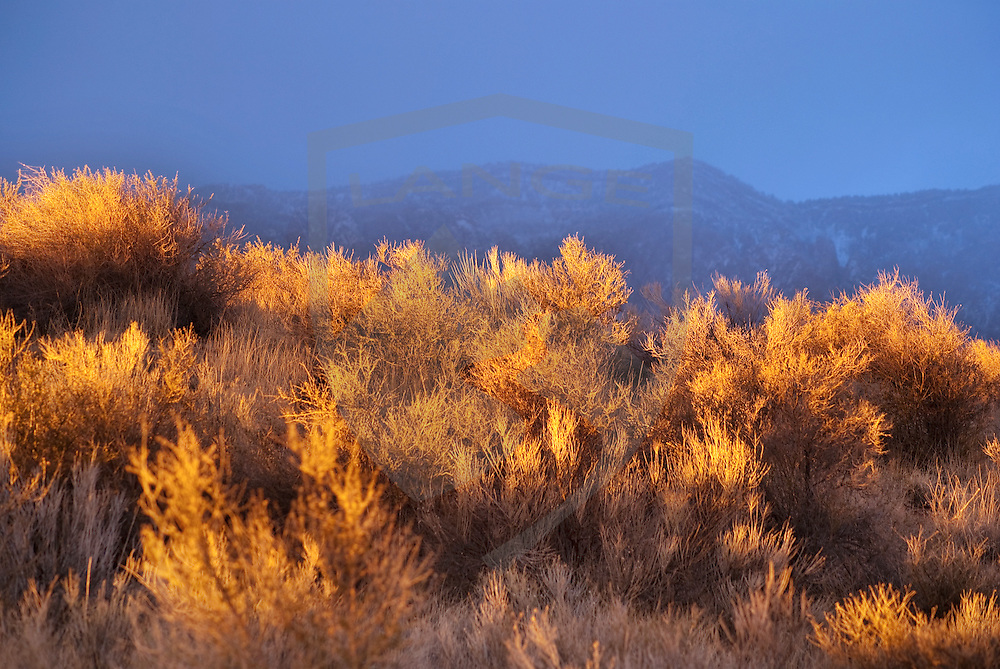 during an amazing and rare evening, sagebrush chamisa is illuminated by the golden yellow sunset light while the background mountains remain in blue cloud cover shade.  the result is an image of beautiful natural contrasts on the landscape.  such scenery awaits those who visit the sandia mountains of albuquerque, new mexico.  horizontal composition with copy space and selective focus on sagebrush.
