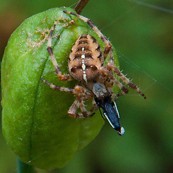 Fat Spider, Castine, Maine, US