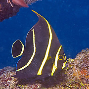 French Angelfish inhabit reefs and sandy areas in Tropical West Atlantic; picture taken  Utila, Honduras.