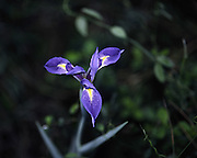 angelpod blue flag; Prairie Iris; Ilex hexagona var. savannarum; wildflower, Florida