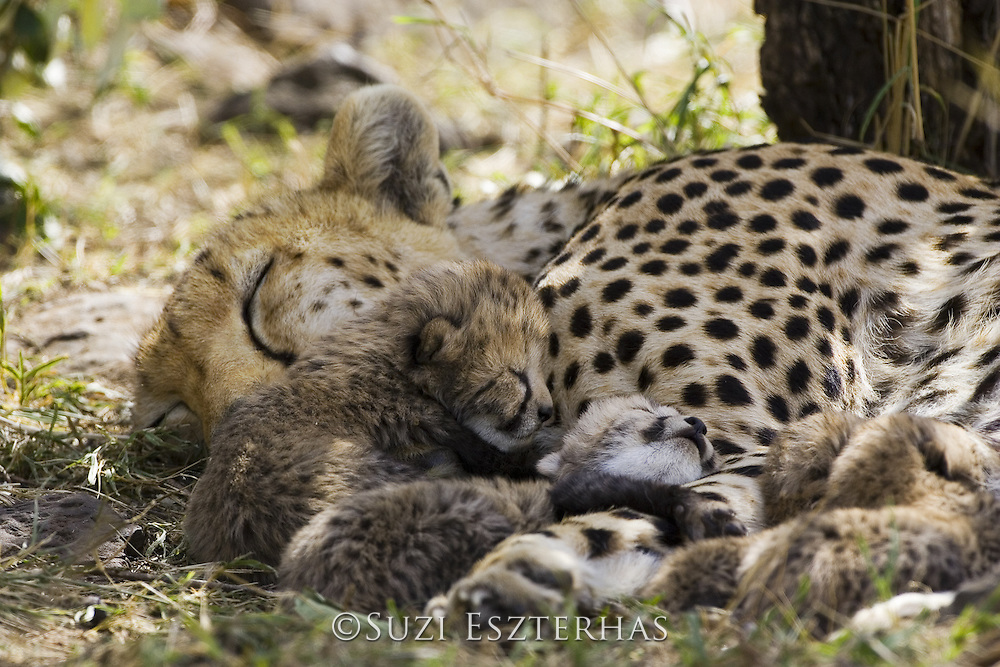 Cheetah<br /> Acinonyx jubatus<br /> Mother and 6 day old cubs in nest<br /> Maasai Mara Reserve, Kenya