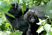Gorilla Treking in Bwindi National Park. Uganda, Africa.