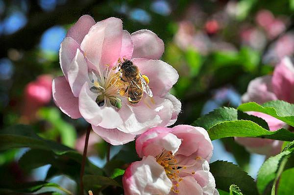 Nederland, Ubbergen, 19-4-2011Een bij zit in de kelk van een bloem op de stampers en meeldraden. Het stuifmeel blijft op zijn lijf plakken en daarmee zorgt hij voor de verspreiding ervan. Een boom in bloei.Foto: Flip Franssen/Hollandse Hoogte