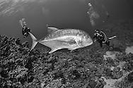 Giant trevally-Carangue à grosse tête (Caranx ignobilis), Red Sea, Sudan.