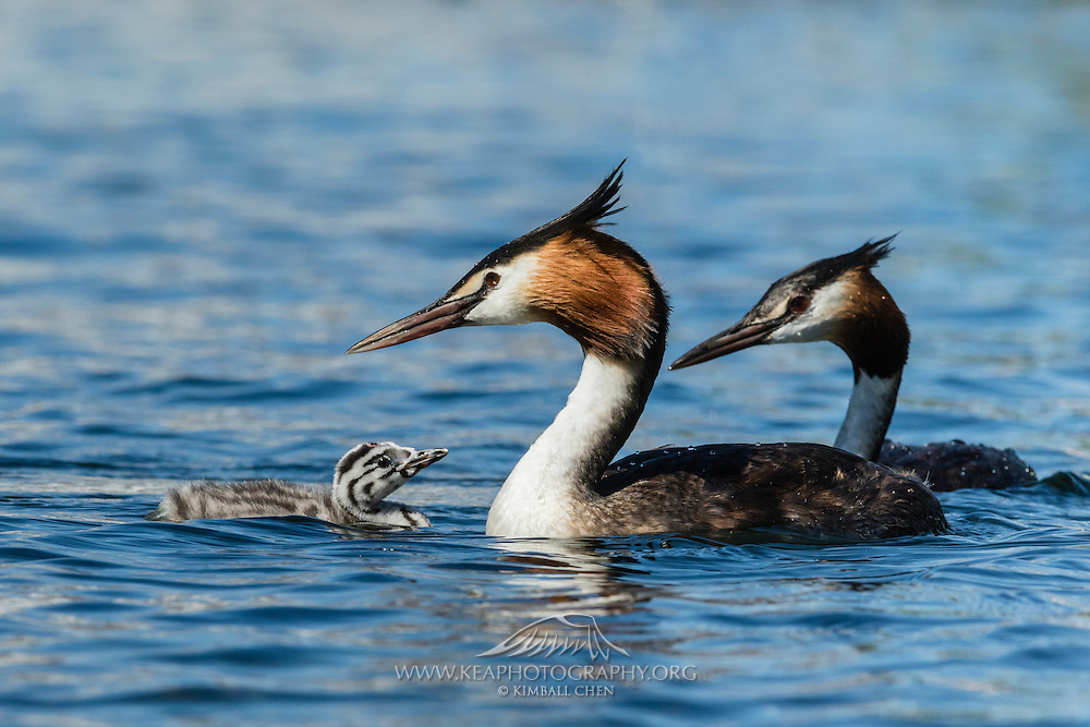 Swimming lesson start early for this newborn Australasian Crested Grebe.  The chick never strays far from its parents, at Lake Wanaka, New Zealand