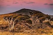 Manuka tree shaped by strong wind, alpenglow, Hooper's Inlet, Otago Peninsula, New Zealand