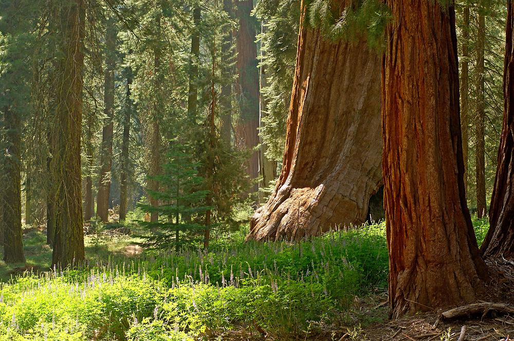 Redwood Trees, Mariposa Grove, Yosemite National Park, California, United States of America